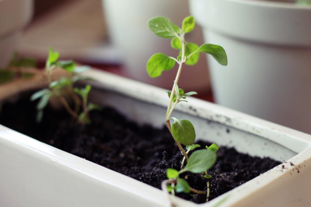Uprawa ziół w domu – jak sadzić i pielęgnować zioła [video]