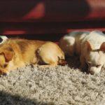 Drugi pies w domu – przygotowania i adaptacja